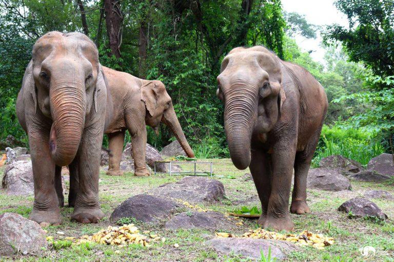Sunshine_for_Elephants_Bananas_3