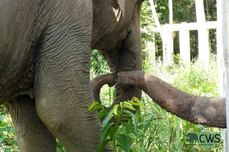 Rescued elephant Kavaan Jungle Home