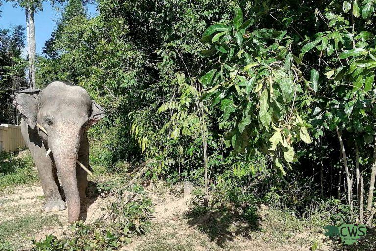 Rescued elephant Kavaan Jungle Home Cambodia Wildlife Sanctuary