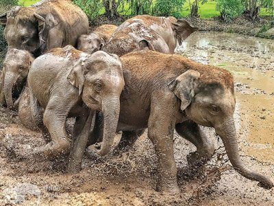 elephant play in the mud at volunteer with elephants project thailand