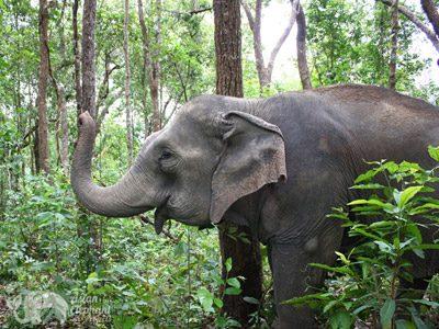 Elephant foraging at elephant sanctuary Thailand near Chiang Mai