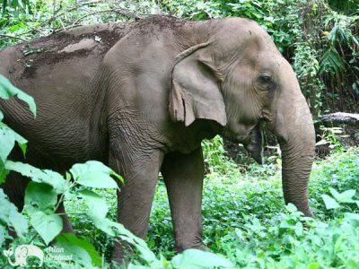 Asian_Elephant_Projects_SaddleOff_24