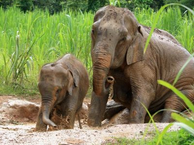 elephant play in the mud at an elephnant sanctuary in thailand Asian Elephant Projects