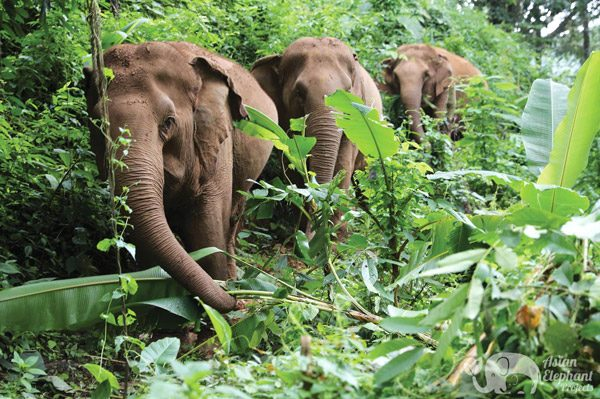 elephants walking in the jungle near chiang mai thailand