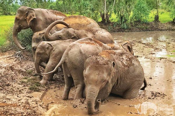 elephants soializing in the mud in Thailand