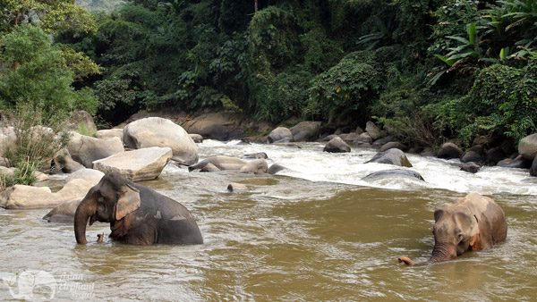 elephants relax in the river elephant sanctuary chiang mai
