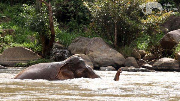 Elephants bathing in the river at Elephant Pride ethical elephant sanctuary