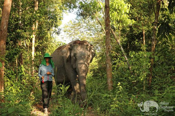 Walking with elephants at elephant sanctuary in Cambodia