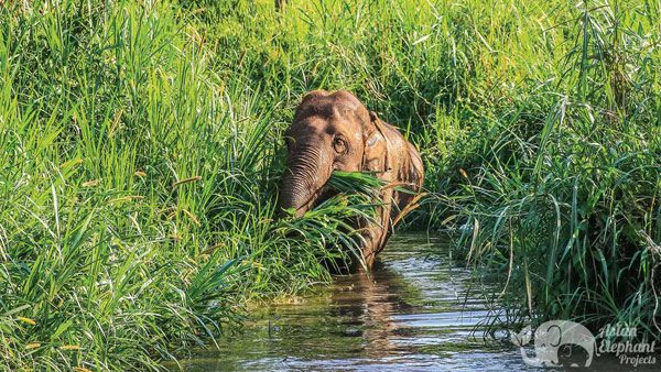 Elephant foraging in a stream at Elephant Trails ethical elephant sanctuary