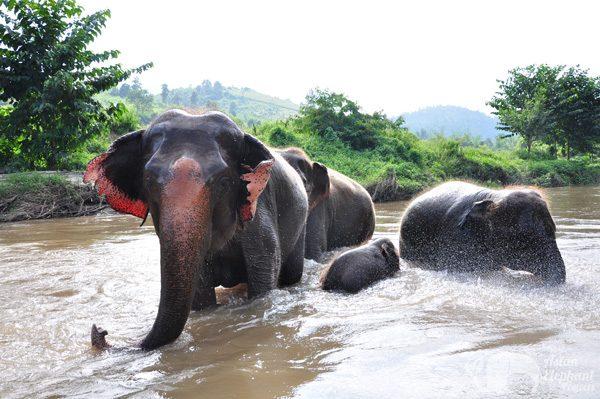 Elephant family enjoys a bath at ethical elephant sanctuary near Chiang Mai in Thailand