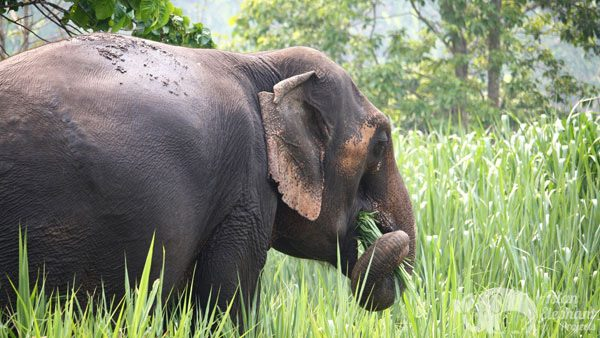 Elephant foraging at ethical elephant project