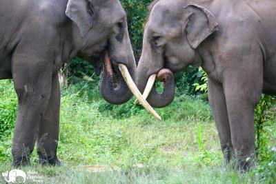 Elephants Eating Asian Elephant Projects