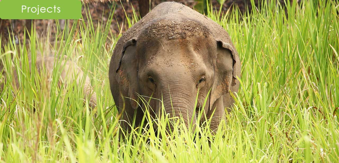 Elephant in the tall grass at ethical elephant tour