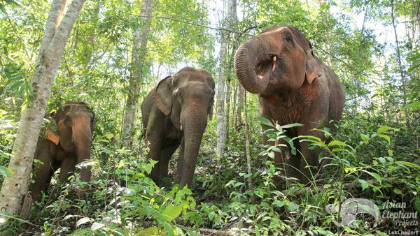 Elephants foraging in the jungle at Karen Elephant Experience ethical elephant sanctuary