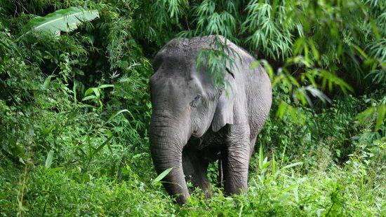 Elephant wandering the jungle at elephant sanctuary thailand